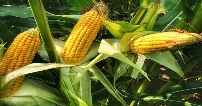 Ngô (bắp): corn